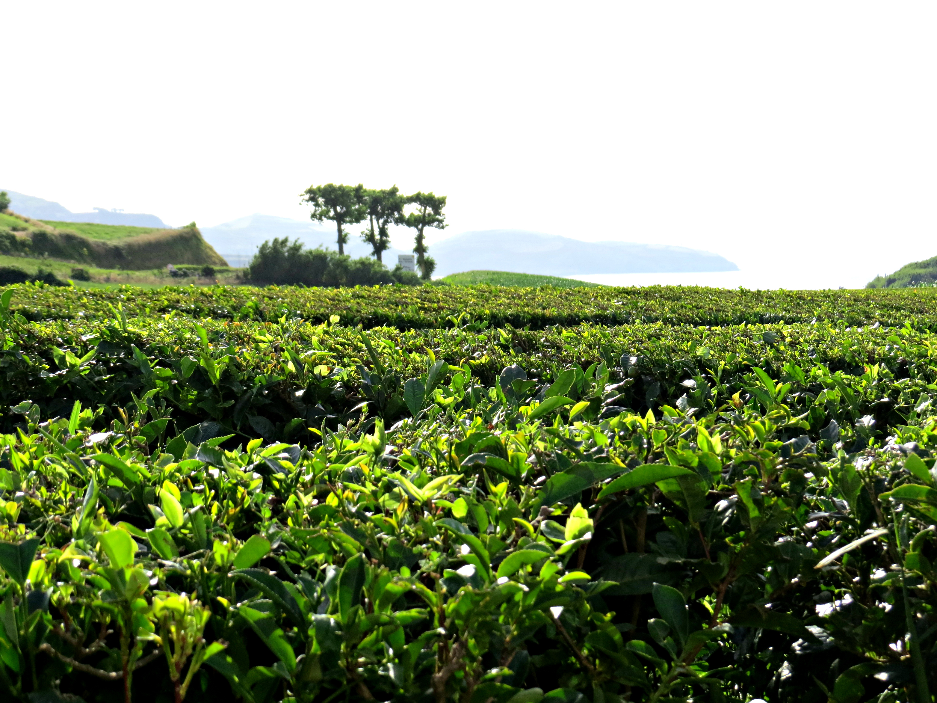 Chà Gorreana Açores 8