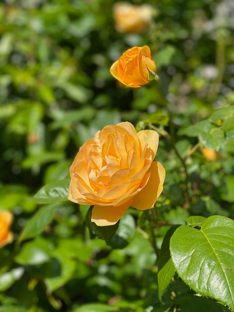 Orange yellow roses